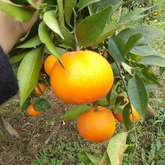 眉山東坡區 【四川超甜爆款沃柑】一口就能吃盡柑、橘的絕妙口感……