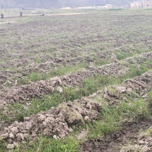撫州宜黃縣 2020年新品竹蓀菇優良品種菌,大面積種植歡迎預訂