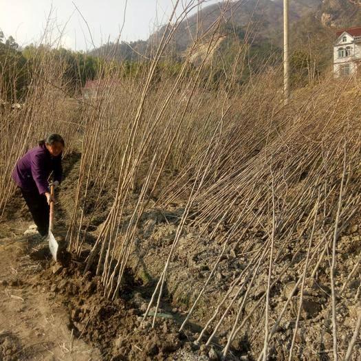 安庆岳西县 销售0.7到3公分杜仲苗,1元到5元每棵