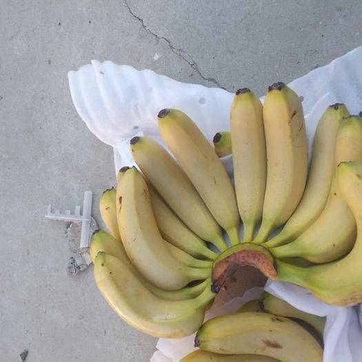 天津蓟县威廉斯香蕉 九成熟