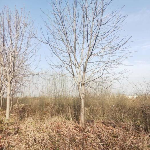 西安周至縣 七葉樹20公分需要聯系