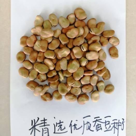 张掖 精选优质蚕豆种子