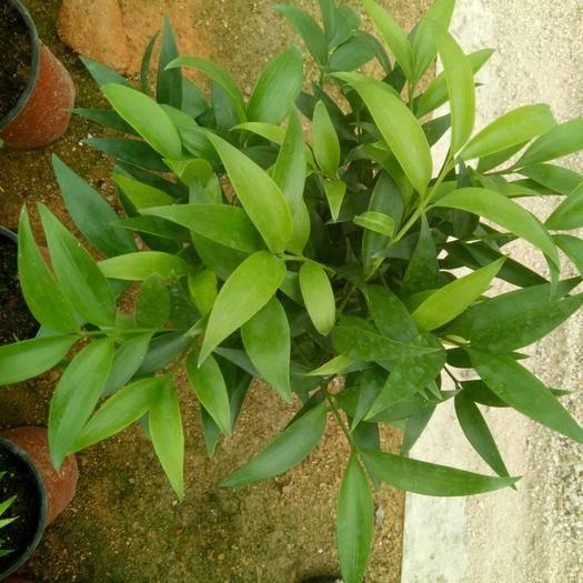 龍巖漳平市 竹柏室內植物能吸收大量甲醛長年免維護保持盆內溫度就可以了