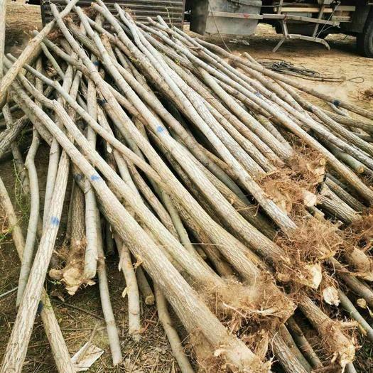 商丘民權縣 柳樹規格齊全價格低質量好每年發貨量20 萬棵