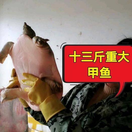 抚州黎川县 9年以上10斤老甲鱼,原产地直销,现抓现卖没有中间商赚差价