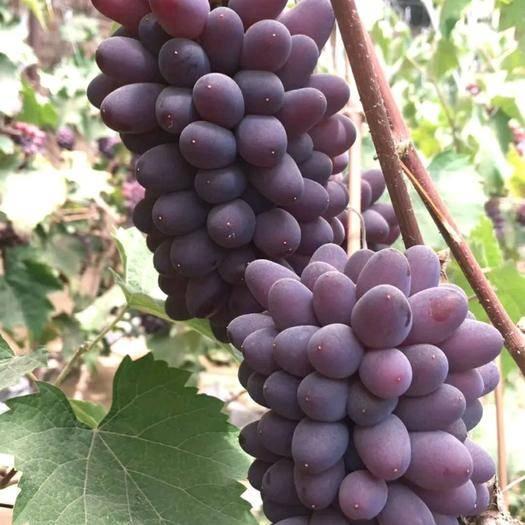 北镇市茉莉香葡萄 0.4-0.6斤 5%以下 1次果