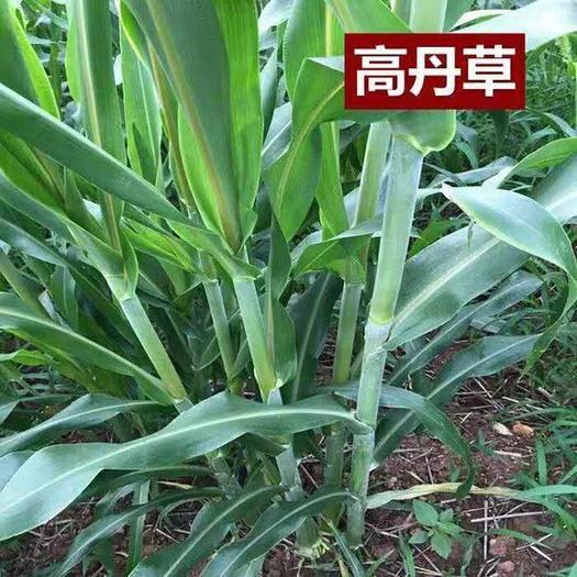 遵义凤冈县 高产量牧草,高丹草
