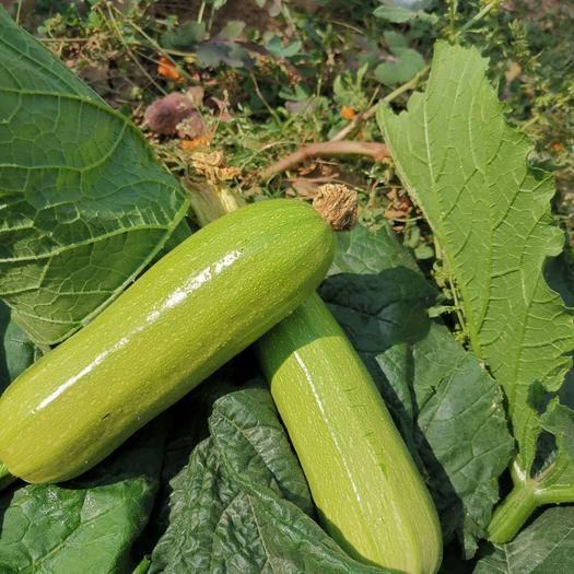 楚雄祿豐縣綠皮西葫蘆 0.5斤以下