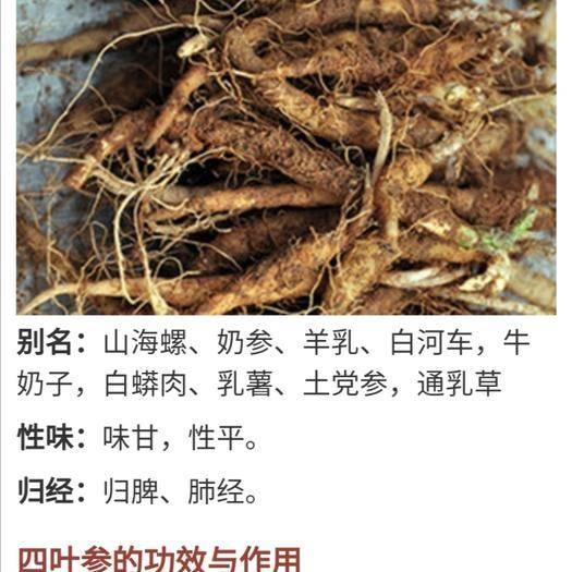 永州江永县山海螺种根 中药材 野山上挖的现挖现卖四叶参