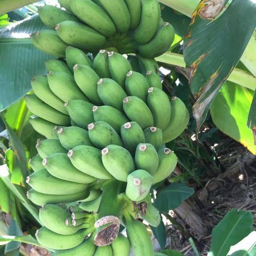 全州县 广西小米蕉banana香蕉新鲜水果批发一件代发5/8/9斤装