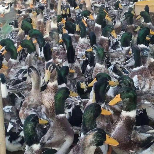 南宁西乡塘区 大品种杂交鸭苗,麻鸭青头鸭水鸭番鸭M18一点头半番鸭