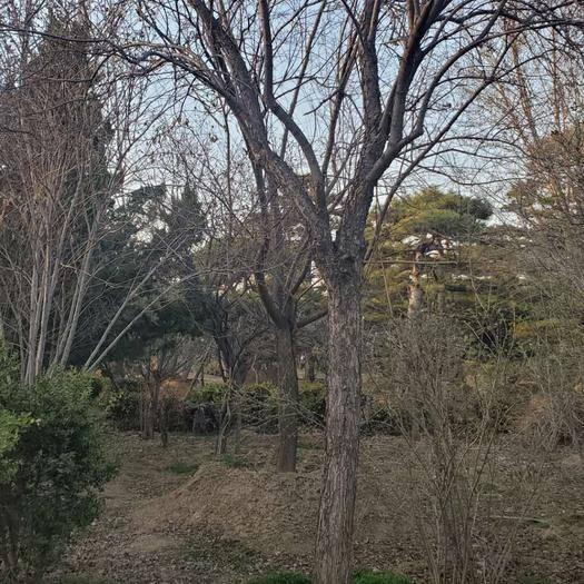 泰安泰山區 暴馬丁香,樹型優美漂亮,基地有各種造型丁香樹,歡迎來考察訂購