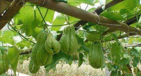 貴陽花溪區 大量出售佛手瓜