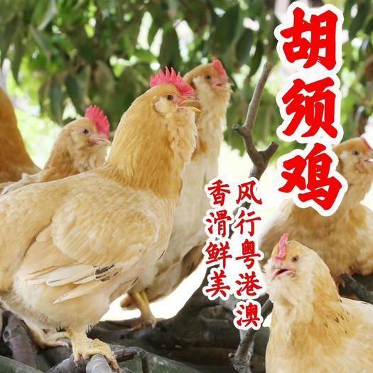 開平市 廣東名雞胡須雞,品質卓越,口感好