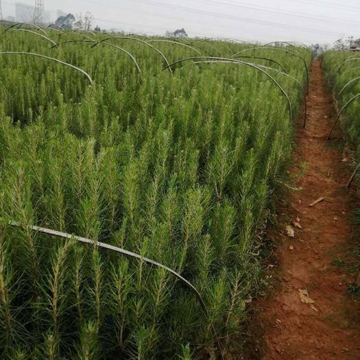 广南县 大量出售湿地松树苗