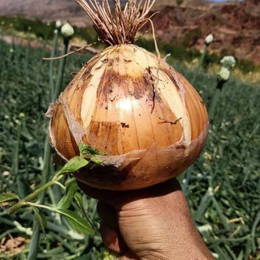 楚雄元谋县 本地鲜洋葱开始上市,质量好价格适当,货可以发全国各地,