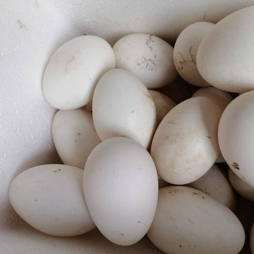 德州乐陵市种鹅蛋 鹅种蛋