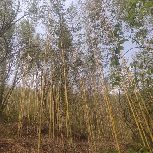 昆明 黄金竹 2.0公分以上