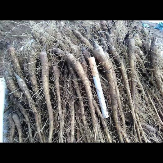 迪慶維西傈僳族自治縣 云木香種子種苗現貨大量出貨需要歡迎訂購