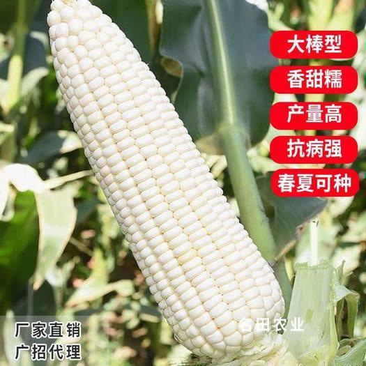 鄭州惠濟區 大棒糯玉米種子甜加糯長度可達30公分,產量高,口感好評價好
