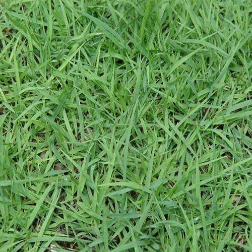 菏泽郓城县狗牙根种子 狗牙根草坪种子百慕大爬根草种子包邮