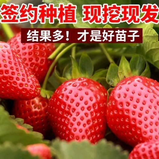 平邑县 优质草莓苗,品种齐全,现挖现卖,当年结果