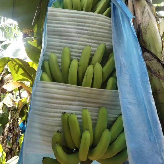 遂溪县云南红河香蕉 七成熟