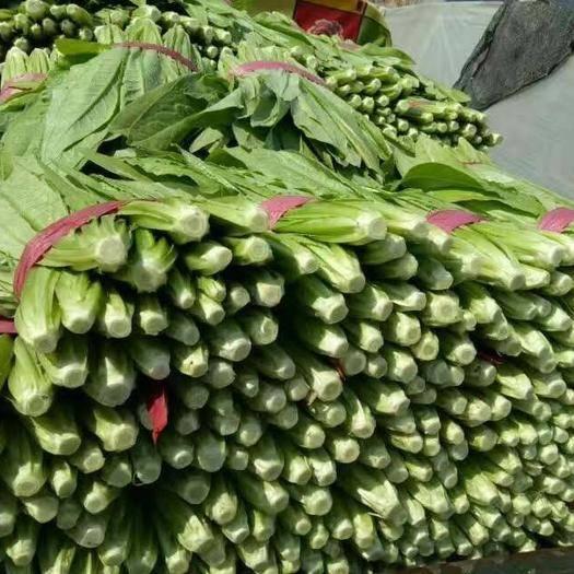邯郸 邯郸油麦菜全年大量供应上市