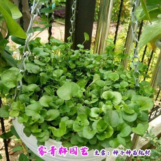 郑州二七区 马蹄金种子新种子包邮