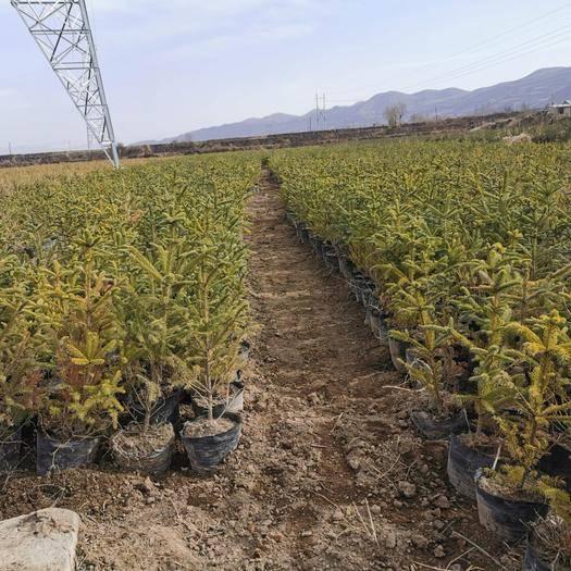 永登縣 云杉營養杯苗,產地直供,蘭州永登連城鎮