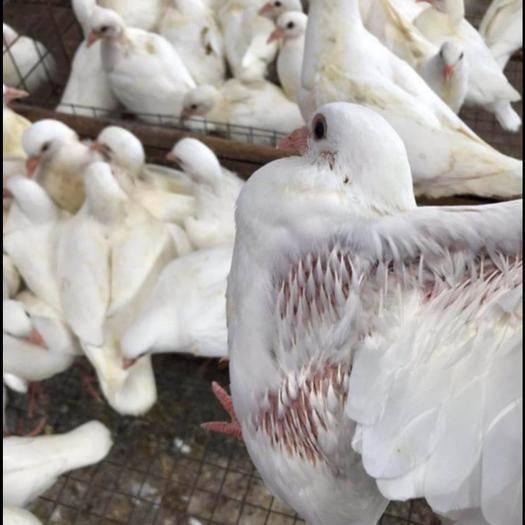 廣州增城區 乳鴿,肉鴿批發