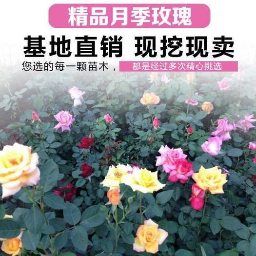 临沂平邑县玫瑰苗 玫瑰花苗 四季开花玫瑰 观赏花  基地直销  包成活