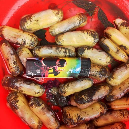 漳州漳浦縣 蝦譚又肥又甜海蟶上市了