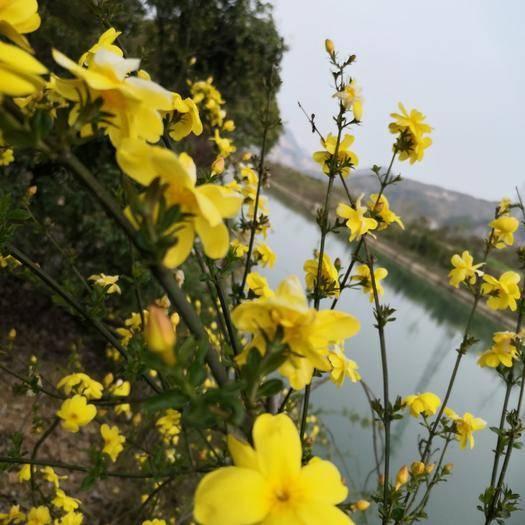 咸寧咸安區普通迎春花 新春花!適合河提,花園,小區花池,別墅種植