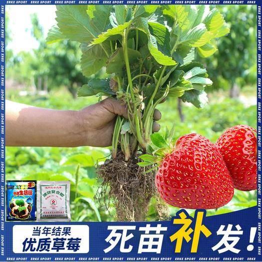 平邑县 奶油草莓苗 10cm~20cm 万亩育苗基地现挖现发 包成