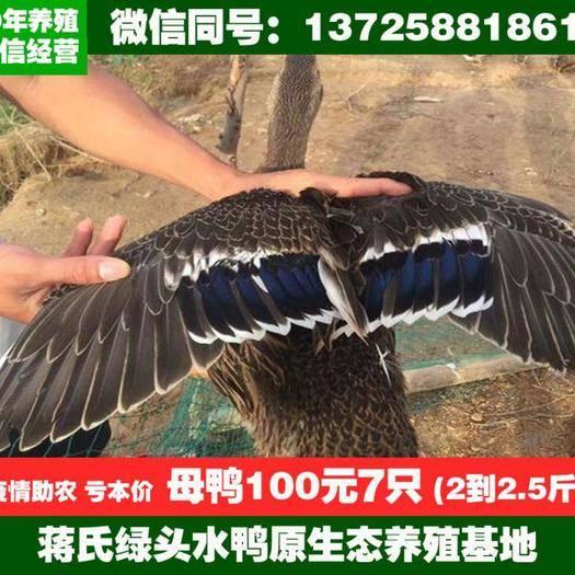 江門鶴山市 大型養殖場長期供應水鴨,母鴨,公鴨,青頭鴨