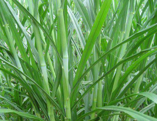 遵义凤冈县 多年生高产量牧草种节、甜象草
