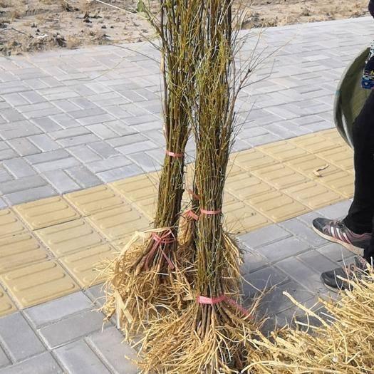 赤峰翁牛特旗文冠果树苗 一年生的二年生的一手货源