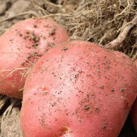 南寧 云南紅皮黃心小土豆新鮮高山農家洋芋馬鈴薯土豆10斤包郵