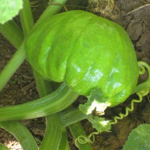 楚雄楚雄市 姜柄瓜是云南特有的小南瓜品种,口感鲜嫩,适合焖煮等多种烹饪