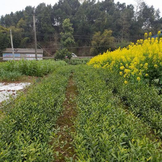 成都简阳市香橙苗 出售香橙直生苗。