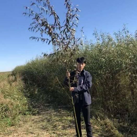 佳木斯富錦市 柳樹 苗木2.5-4公分 速生柳 美國 發電 造紙
