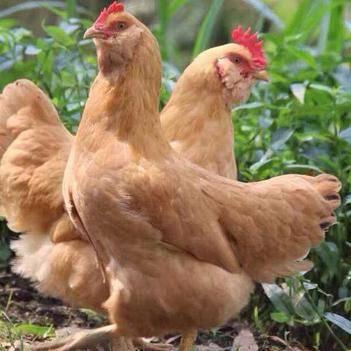 土鸡 .胡须鸡.鸡