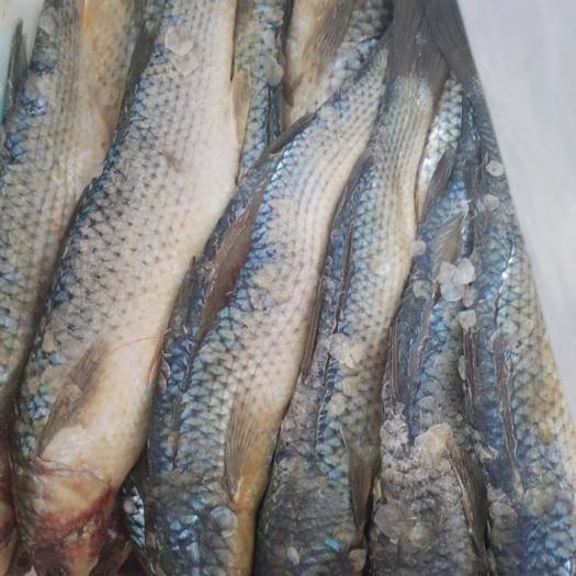 滨州沾化区渤海梭鱼 咸鱼