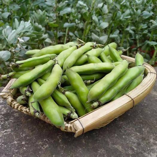 昆明禄劝彝族苗族自治县速冻蚕豆 本人每天有10吨青蚕豆大量上市