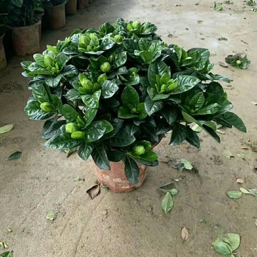 昆明 梔子花盆栽,230規格