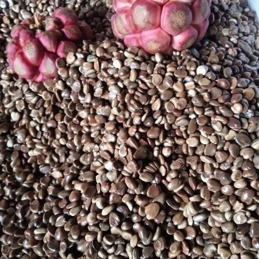 怀化通道侗族自治县黑老虎种子 黑老虎,布福娜种子
