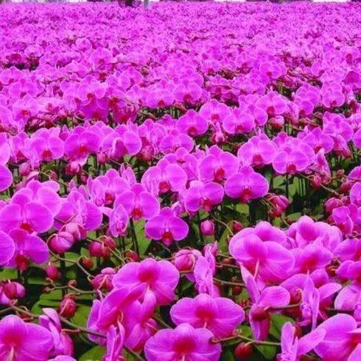 宿迁蝴蝶兰苗 蝴蝶兰种苗适合庭院公园花海大面积种植。