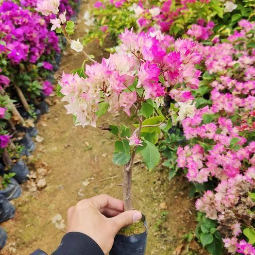 龍海市 三角梅小苗多種顏色混批有幾十個品種100棵就可以發貨漳州農戶