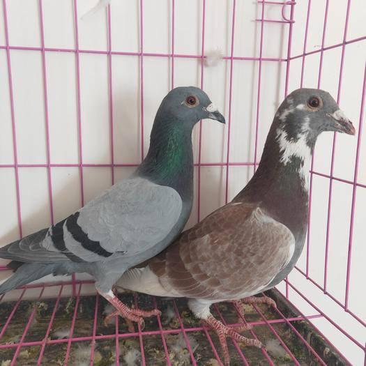 阜陽太和縣 種鴿一對包郵。瓦灰雨點。麒麟花。肉鴿紅繡鴿子可以發貨了申通